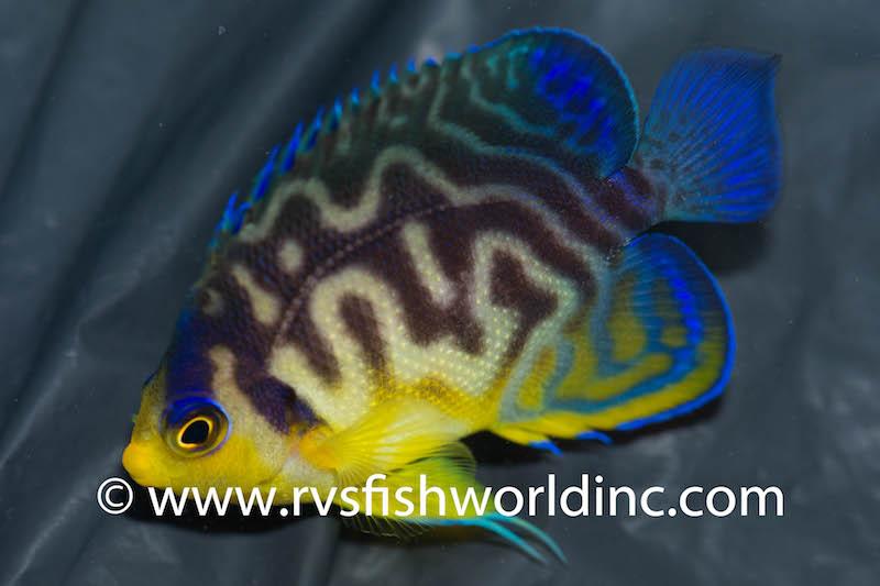multibar-venustus-hybrid-angelfish-1.jpg