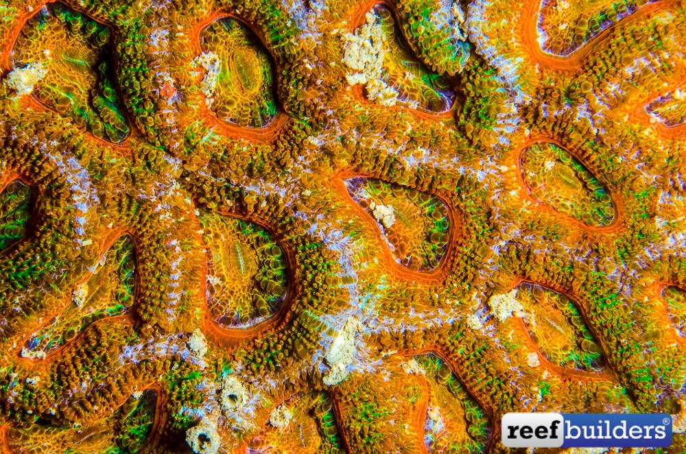 Micromussa-lordhowensis-30.jpg