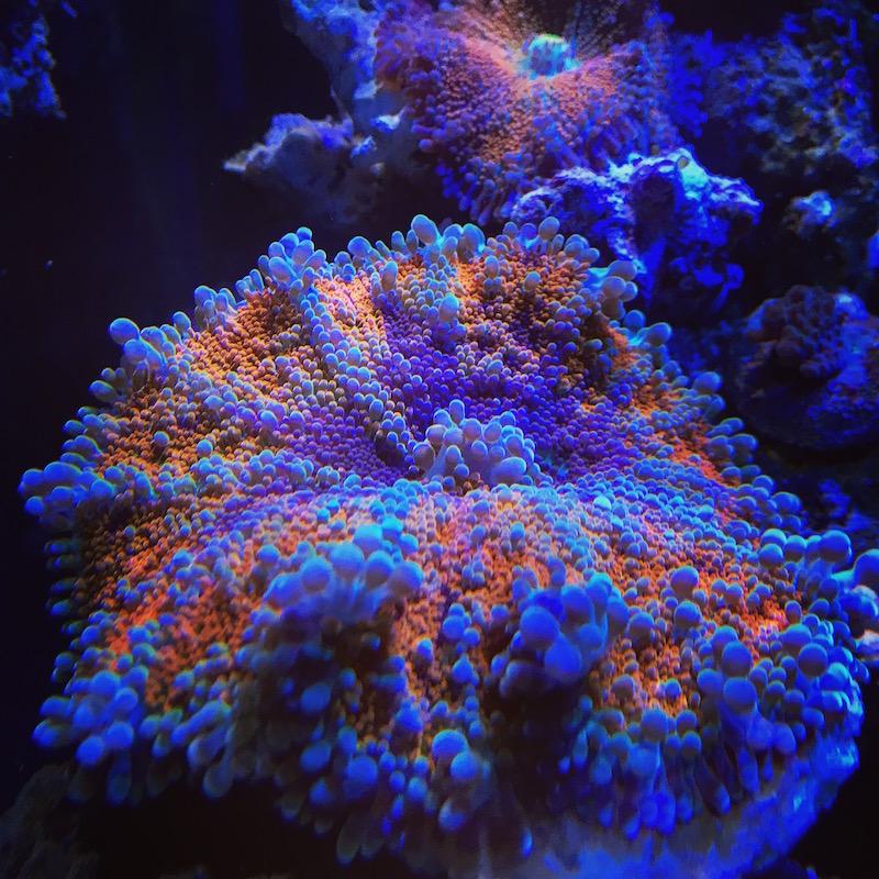 ricordea-yuma-orange-purple.jpg