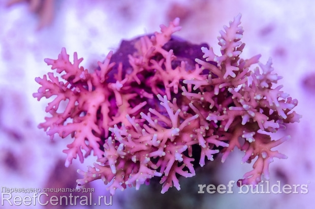 acropora-carduus-red-dragon-hurlock-18.j