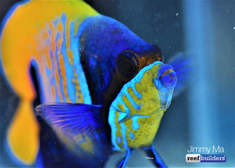 majestic-angelfish-blue-skeleton-2.jpg