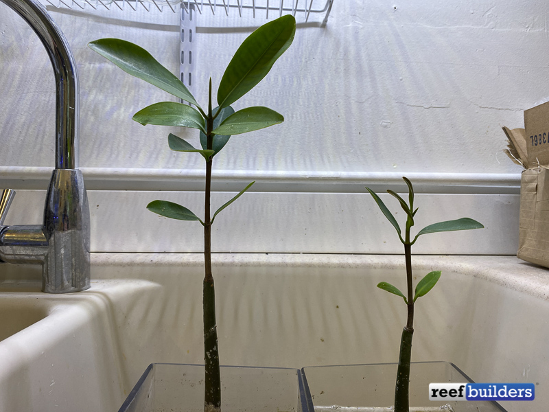 mangrove-potted-substrate-3.jpg