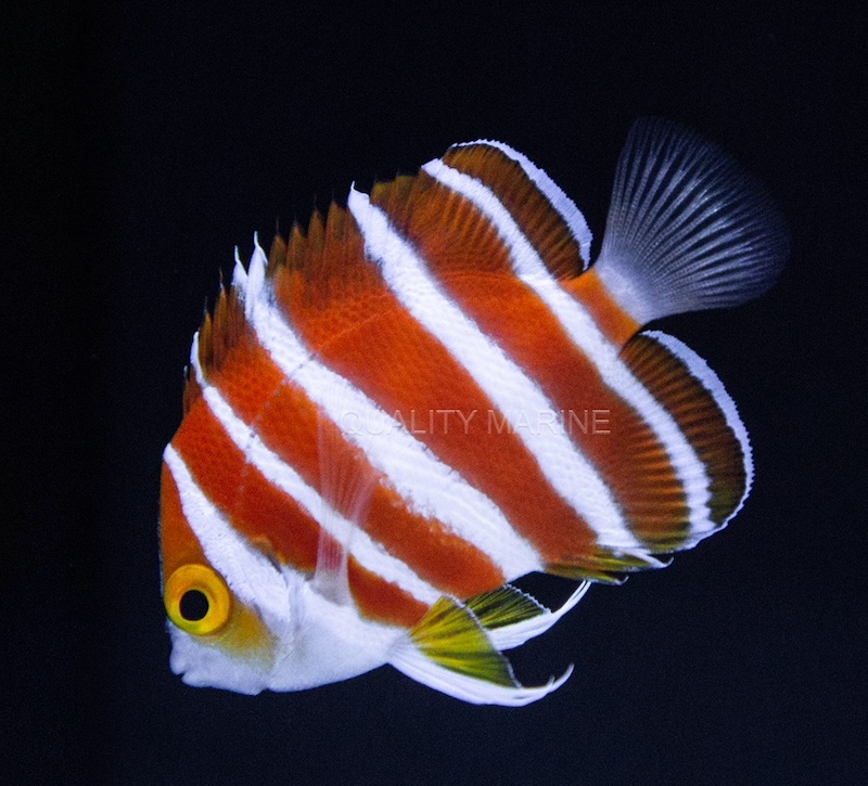 Peppermint-Angelfish.jpg