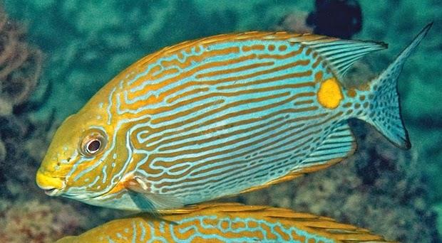 siganus-insomnis-rabbitfish-3.jpg