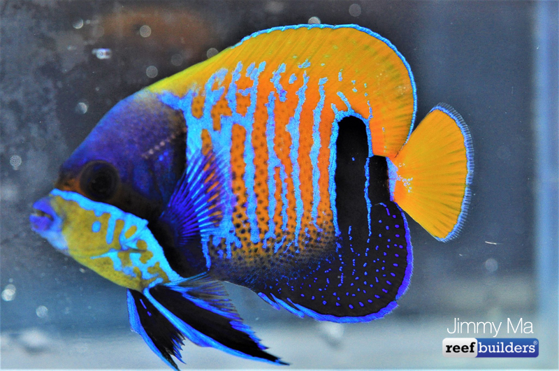 majestic-angelfish-blue-skeleton-8.jpg