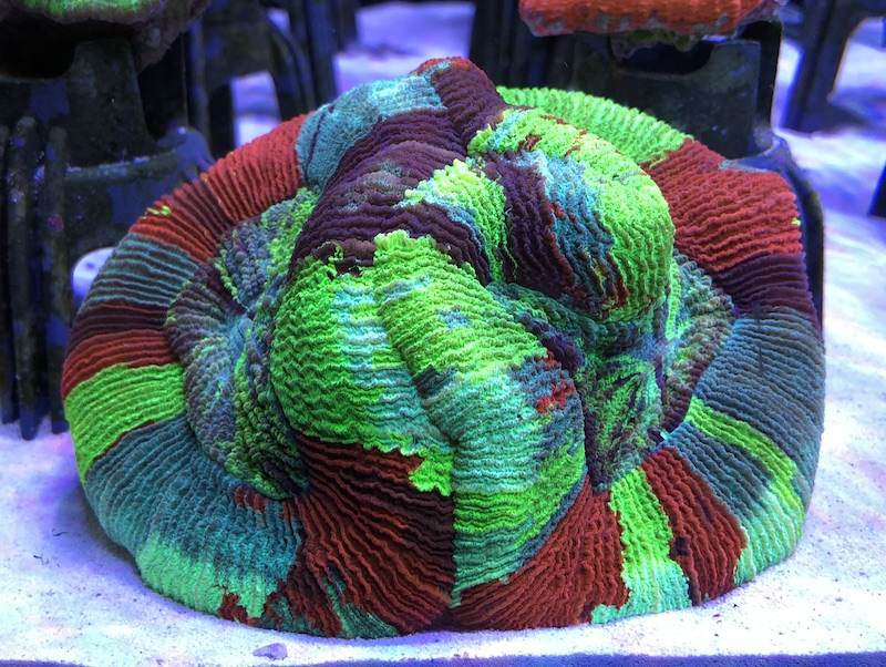 painted-trachyphyllia-front.jpg