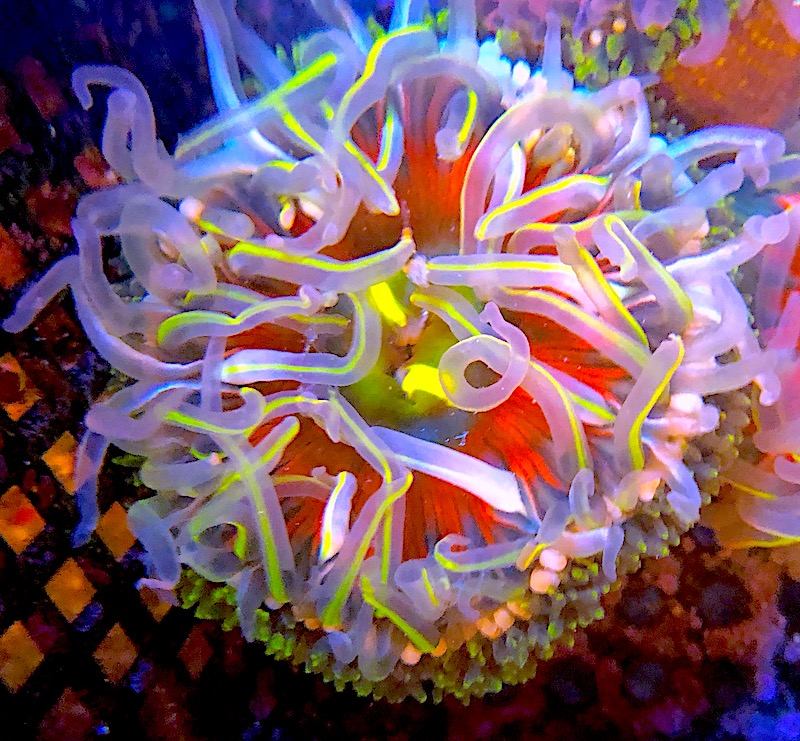 rainbow-bottom-anemone-aci-2.jpg