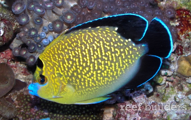 goldflake-angelfish-2.jpg