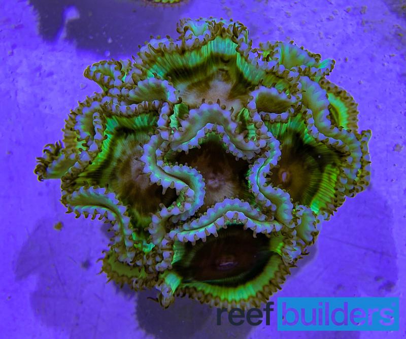 palythoa-grandis-sun-polyp-4.jpg