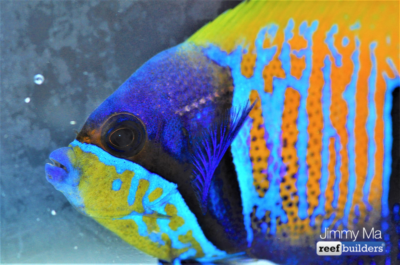 majestic-angelfish-blue-skeleton-1.jpg
