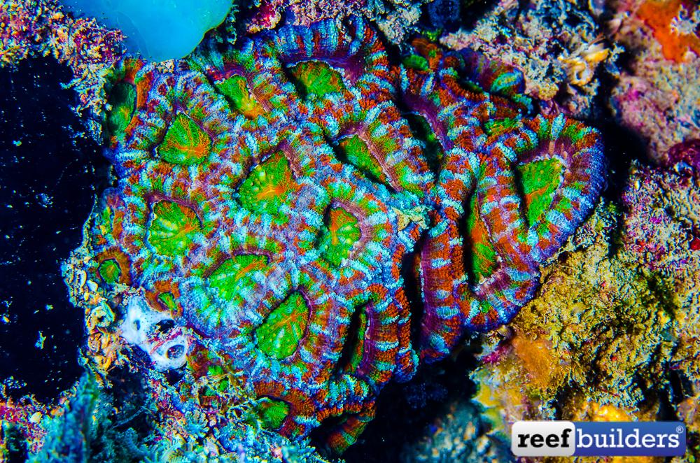 Micromussa-lordhowensis-65.jpg