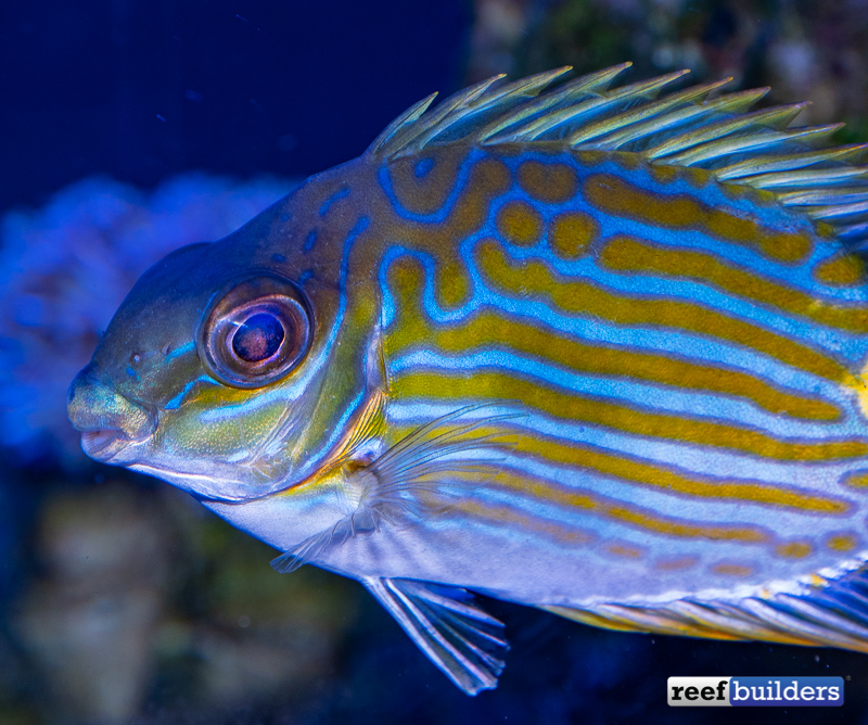 rabbitfish-biota-siganus-lineatus-5.jpg