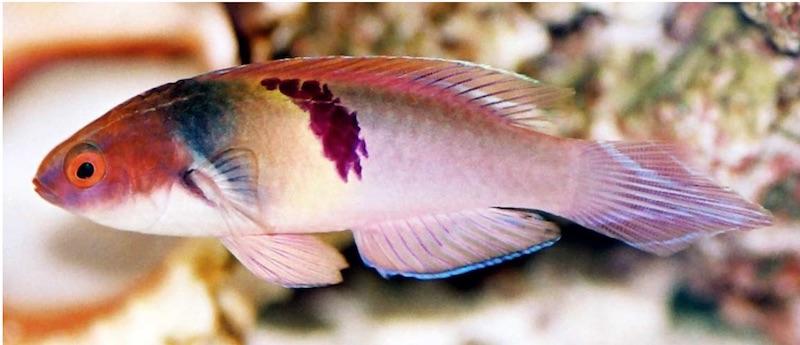 Cirrhilabrus-sanguineus-tanaka.jpg