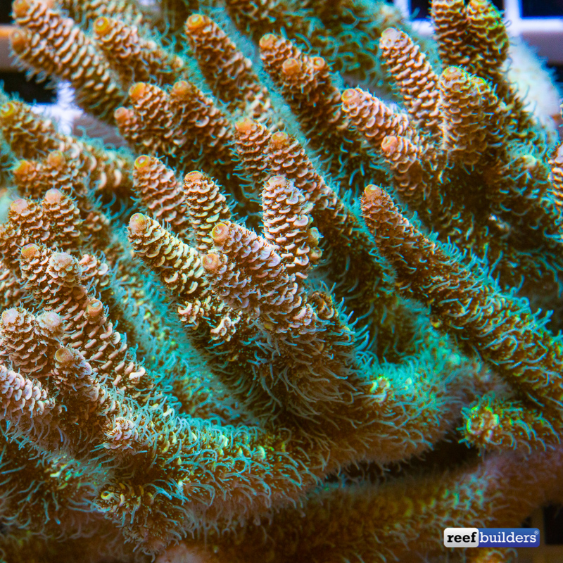 acropora-millepora-solomon-islands-7.jpg
