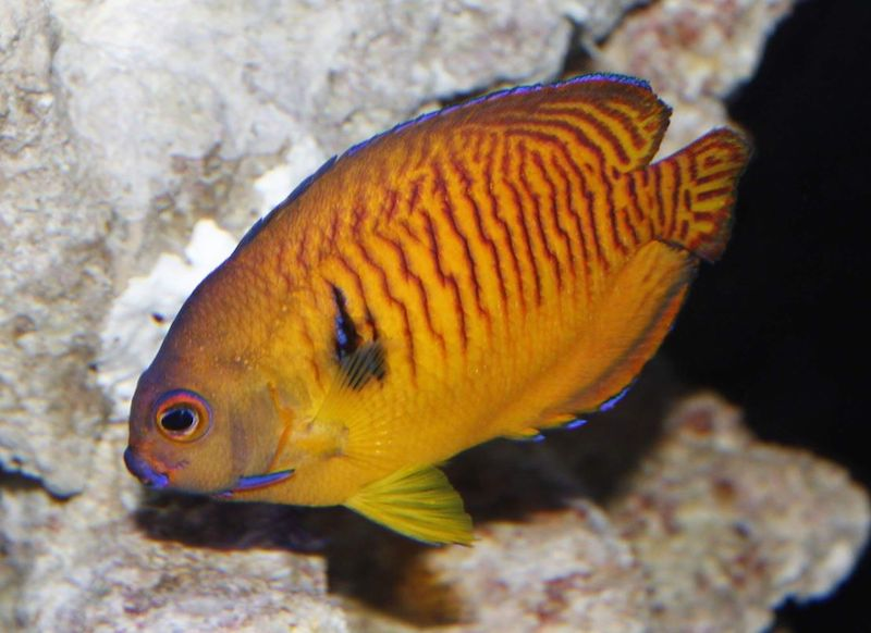 tiger-tail-coral-beauty-angelfish-orange.jpg