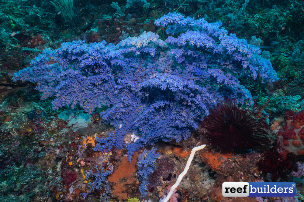 RB-Octocoral-9.jpg