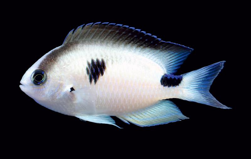 Pomacentrus-vatosoa-3.jpg