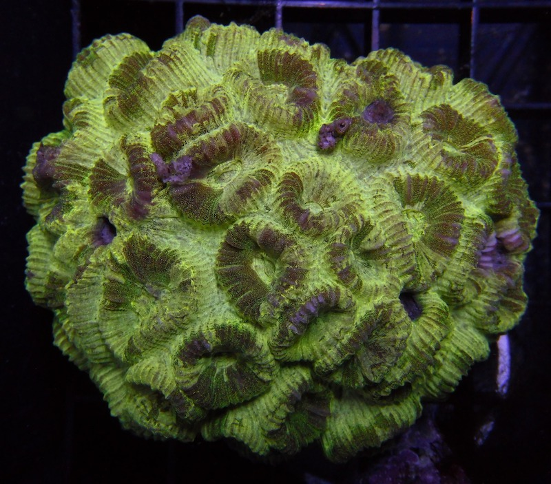 fluted-moon-coral-2.jpg