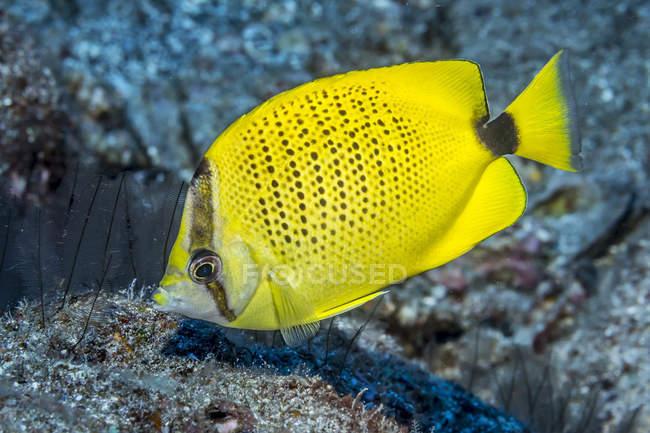 milletseed-butterflyfish.jpg