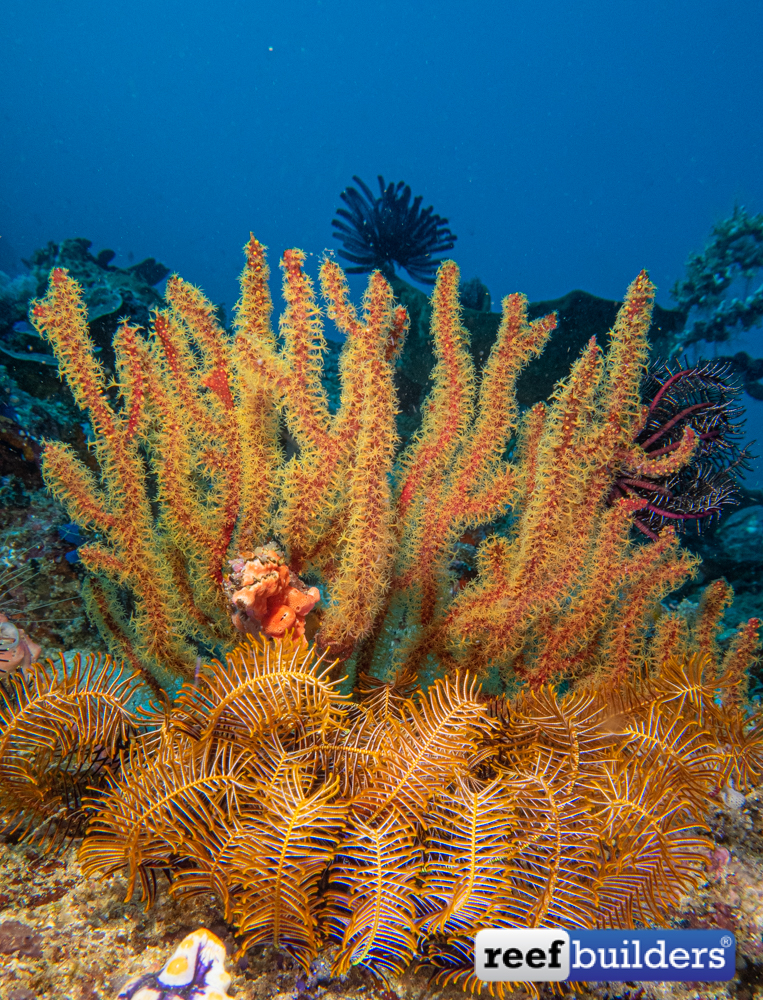 RB-Octocoral-2.jpg