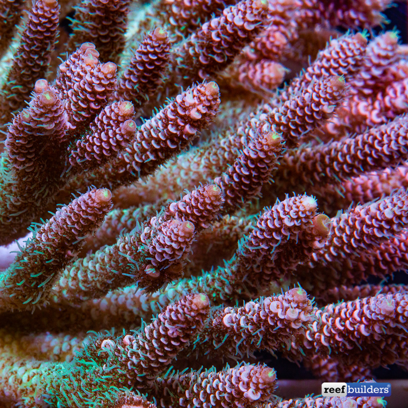 acropora-millepora-solomon-islands-10.jp