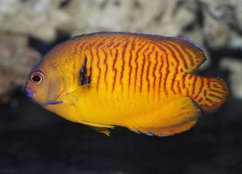 tiger-tail-coral-beauty-angelfish-orange-2.jpg