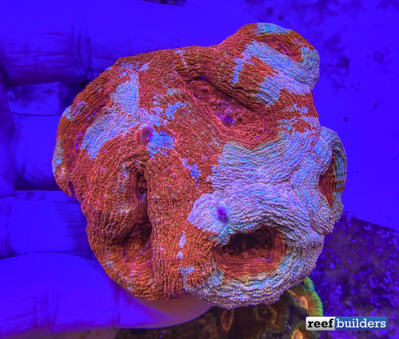 tonga-mussa-lps-coral-red-3.jpg