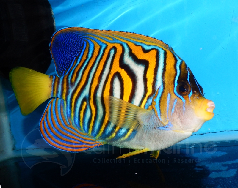 Scribbled-Regal-Angelfish.jpg