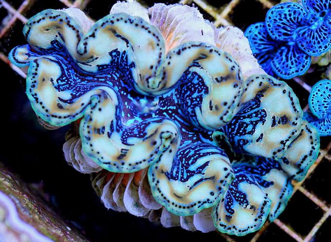 Tridacna-samoa-bicolor-blue.jpg