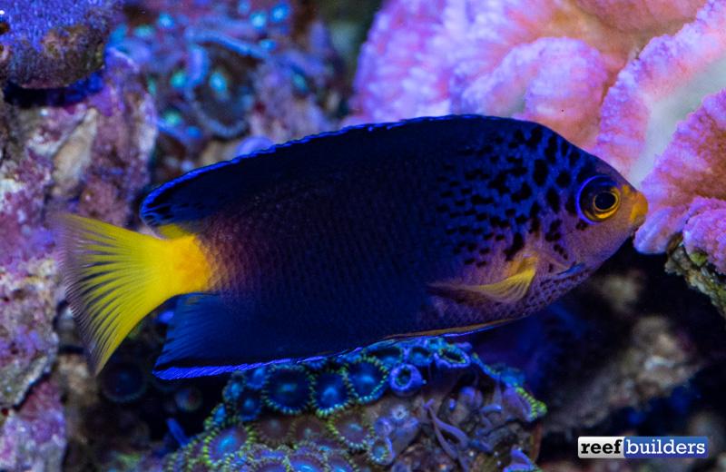 centropyge-debelius-angelfish-11.jpg