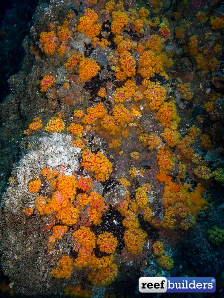Tubastrea-Sun-Coral-Malapascua-2.jpg