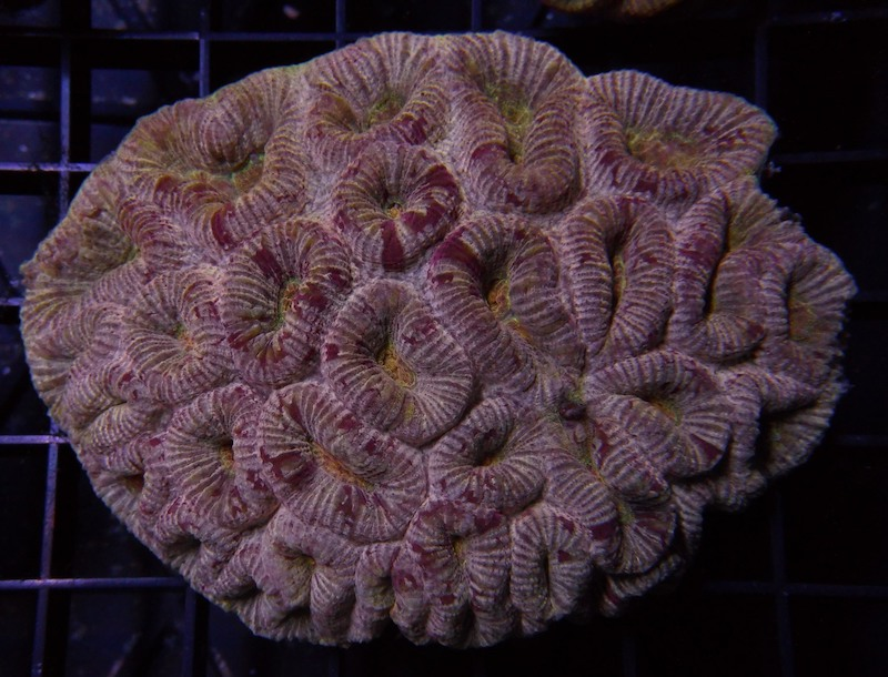 fluted-moon-coral-8.jpg