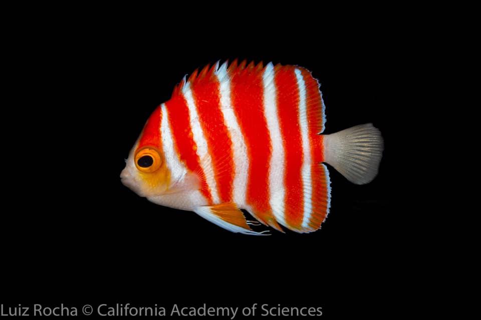 peppermint-angelfish-cas.jpg