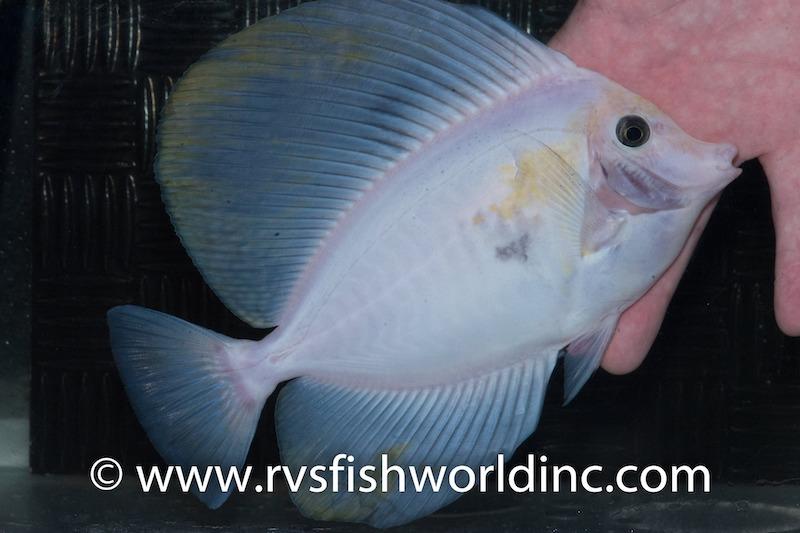 white-sailfin-tang.jpg