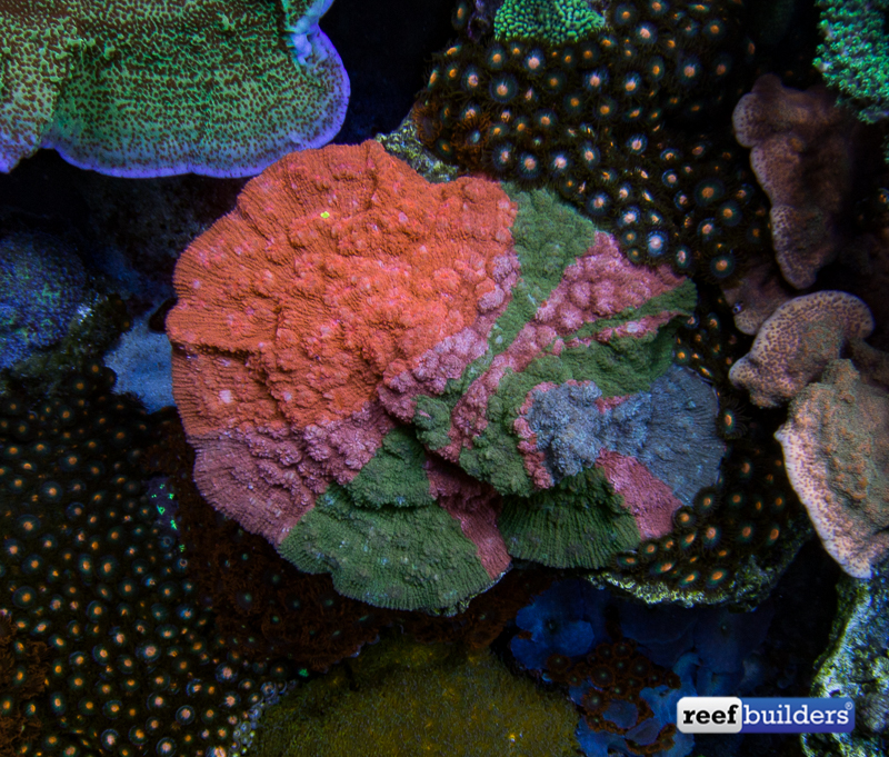 rainbow-chalice-echinophyllia-reef-aquar