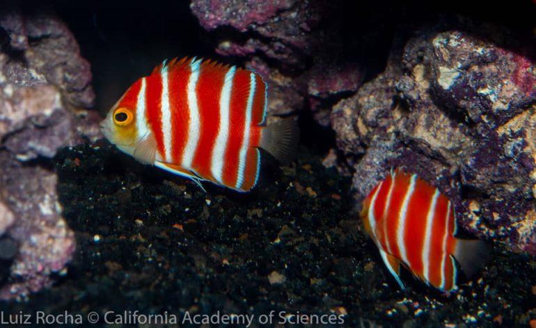 peppermint-angelfish-cas-2-770x472.jpg