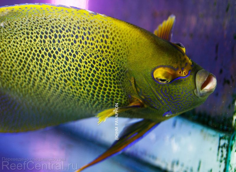 blueface-koran-angelfish-hybrid-3-copy.j