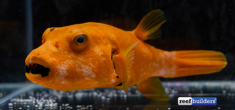 orange-puffer-starry-arothron-2.jpg