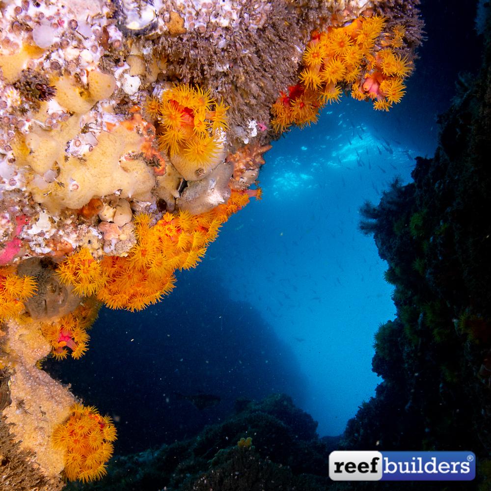 Tubastrea-Sun-Coral-Malapascua-4.jpg