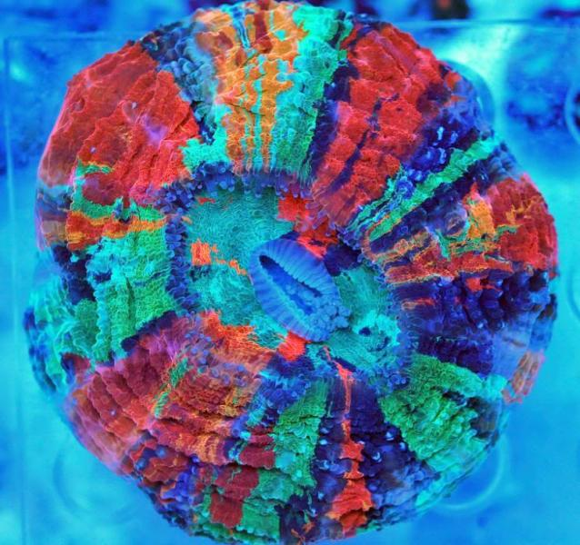 rainbow-acanthophyllia-2.jpg