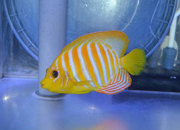 regal-angelfish-xanthic-2.jpg