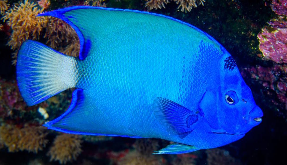 blue-queen-angelfish-st-pauls-rock-copy.