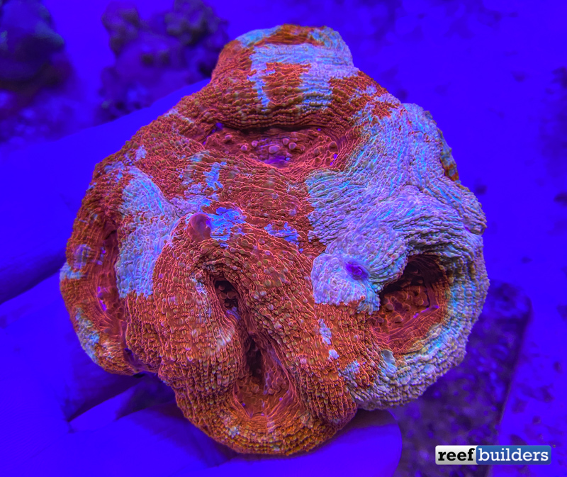 tonga-mussa-lps-coral-red-2.jpg