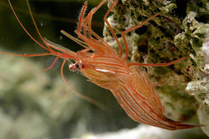 Peppermint-shrimp.jpg