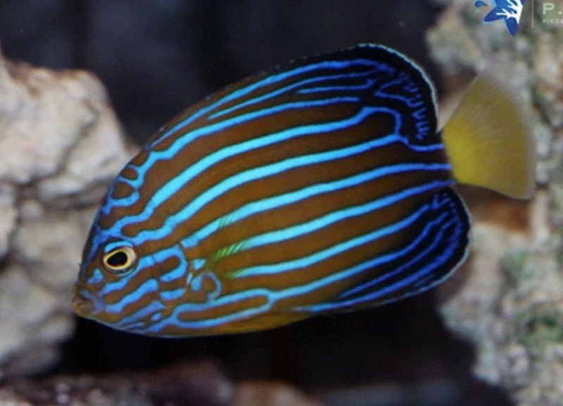 blueline-angelfish.jpg