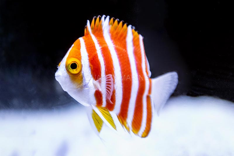 Peppermint-Angelfish-2.jpg