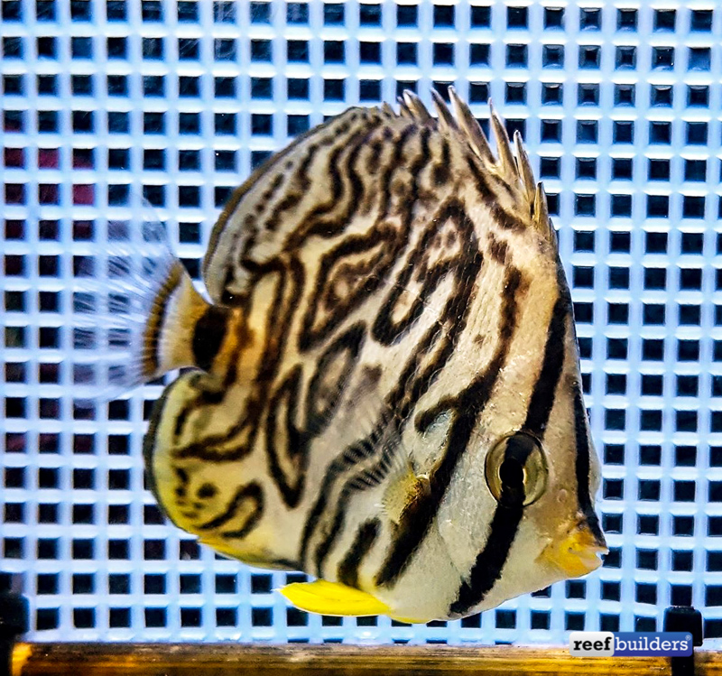 eight-band-butterflyfish-aberrant-3.jpg
