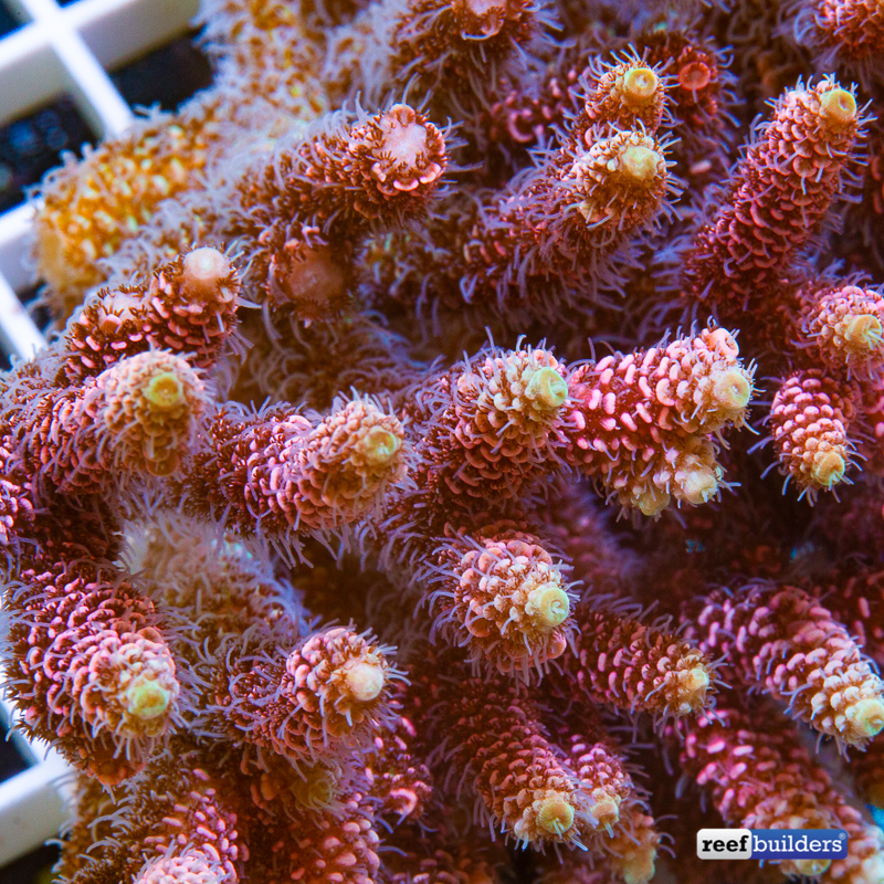 acropora-millepora-solomon-islands-3.jpg