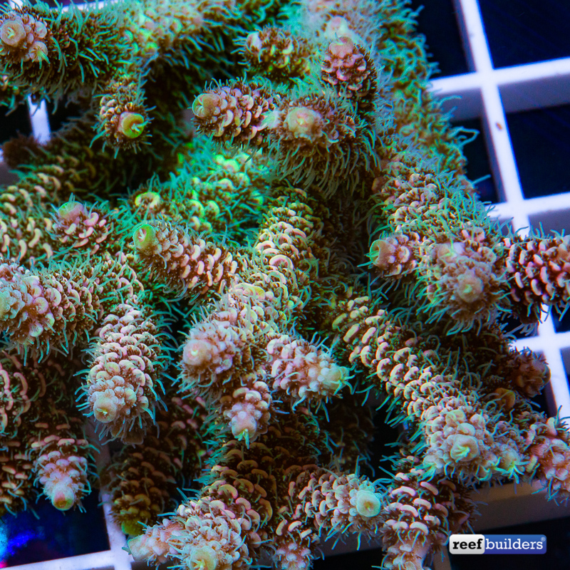 acropora-millepora-solomon-islands-6.jpg
