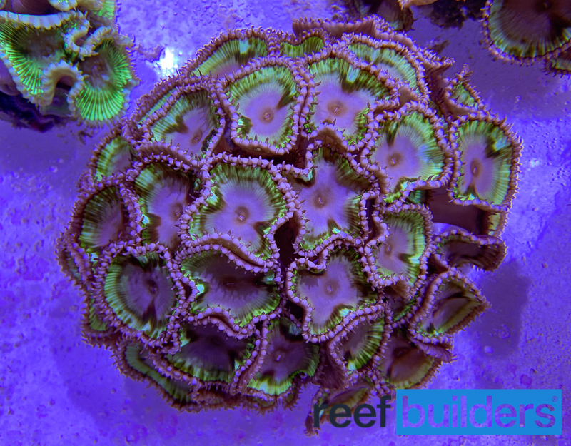 palythoa-grandis-sun-polyp-2.jpg